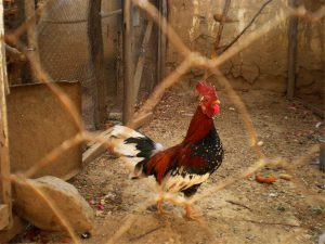 caged chicken