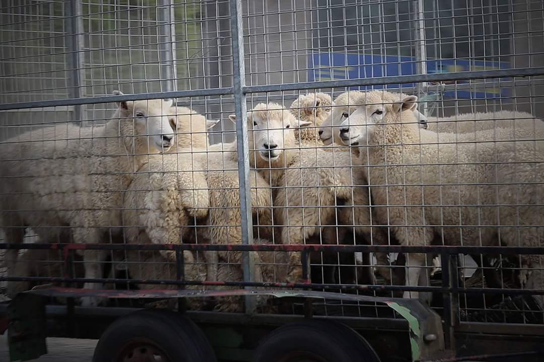 sheep heading for slaughter