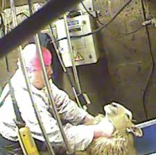 Should CCTV cameras be mandatory in slaughterhouses?