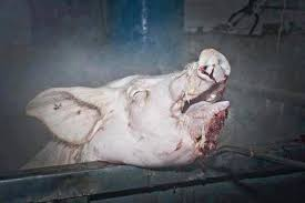 More Pigs Boiled Alive in Slaughterhouses If Proposal Goes Ahead