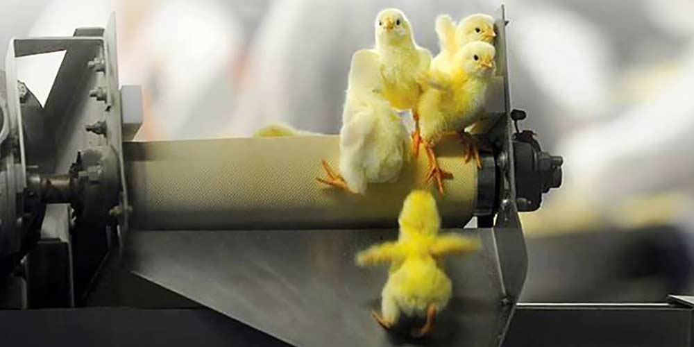 Commercially produced free-range eggs come at a terrible price