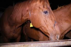 'Every horse can't be a winner.  What can they do with these horses?' Interview with a kill buyer.