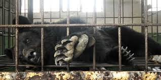 Bear Bile Farming – The Worst Form of Animal Cruelty