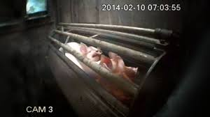 'Humane' Torture – how pigs are stunned in slaughterhouses