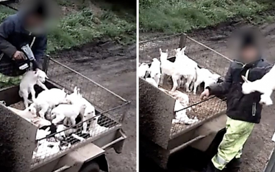 DEATH, MUTILATION AND DISEASE – THE REALITY OF GOAT MILK FARMING