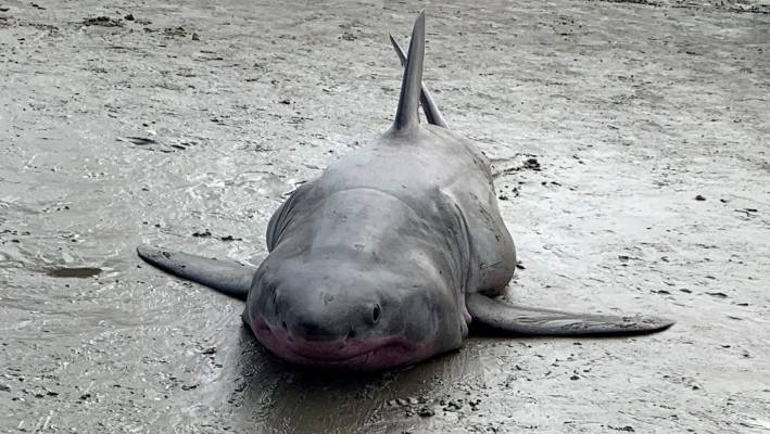 Great White abused on Auckland beach