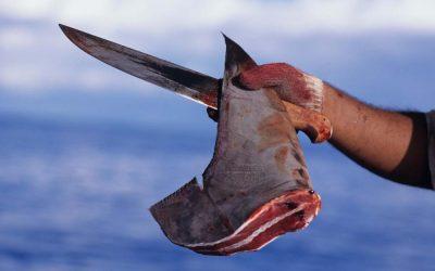 Cruel but lucrative shark finning still practiced worldwide to supply Asian market