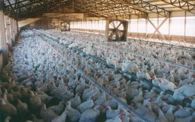 Factory farms are manufacturing our modern diseases