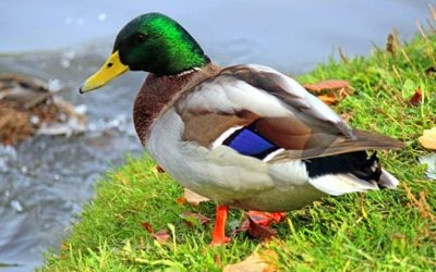 Duck Shooting Season A Licence To Kill Endangered Native Species