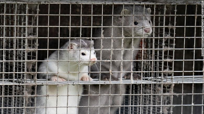 MINK TO HUMAN TRANSMISSION OF CORONAVIRUS COULD HASTEN THE INDUSTRY'S DEMISE
