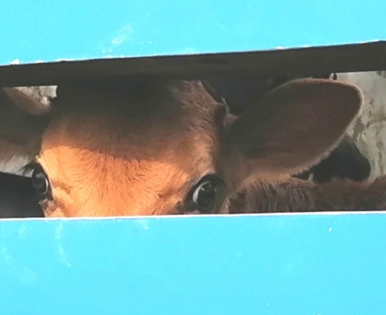 Averting Our Gaze –  Transportation An Ordeal For Slaughterhouse Animals