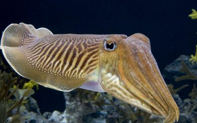 THERE'S AN INTELLIGENT BEING IN THAT SQUISHY BODY: CUTTLEFISH PASS TEST DESIGNED FOR CHILDREN