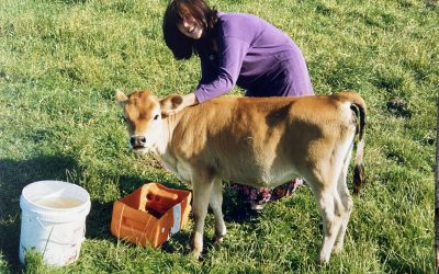 Sent Their Separate Ways – Tending Calves On A Dairy Farm